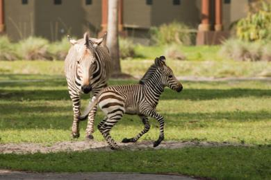 Baby Zebra Born at Disney's Animal Kingdom Lodge