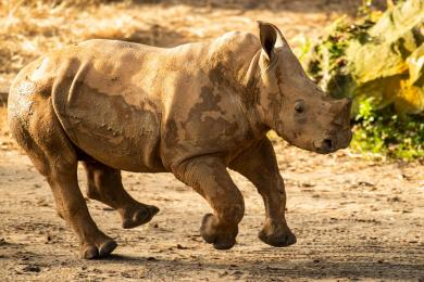 Ranger the Baby Rhino Makes His Theme Park Debut