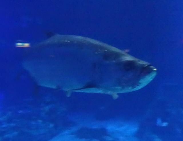 Grumpy Cat's dinner--Grumpy Fish!