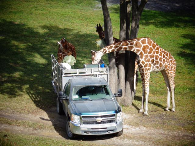 giraffeswithkeeper.jpg