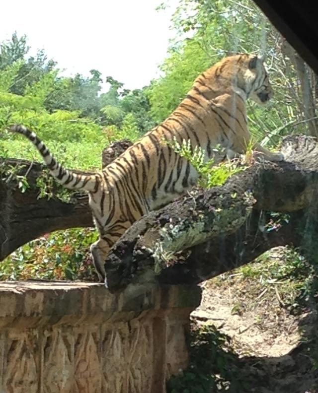 Testy Tiger--getting ready to pounce on his buddy