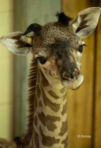 Nw Baby Masai Giraffe